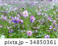 コスモス畑 コスモス 花の写真 34850361