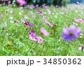 コスモス畑 コスモス 花の写真 34850362