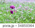 コスモス畑 コスモス 花の写真 34850364