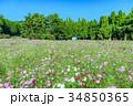 コスモス畑 コスモス 秋桜の写真 34850365