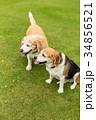 ビーグル犬 34856521