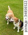 ビーグル犬 34856522