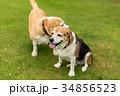 ビーグル犬 34856523