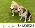 2匹のビーグル犬 34856524