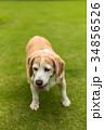 ビーグル犬 34856526
