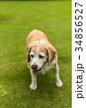 ビーグル犬 34856527