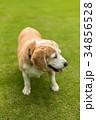 ビーグル犬 34856528