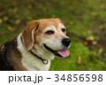 ビーグル犬 34856598