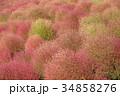 コキア 紅葉 秋の写真 34858276