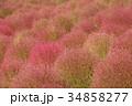 コキア 紅葉 秋の写真 34858277