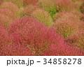 コキア 紅葉 秋の写真 34858278