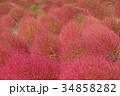 コキア 紅葉 秋の写真 34858282