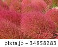 コキア 紅葉 秋の写真 34858283