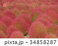 コキア 紅葉 秋の写真 34858287
