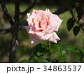 バラ 薔薇 花の写真 34863537