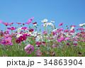 花 コスモス 秋桜の写真 34863904