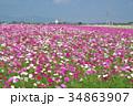 花 コスモス 秋桜の写真 34863907