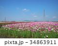 花 コスモス 秋桜の写真 34863911