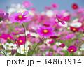 花 コスモス 秋桜の写真 34863914