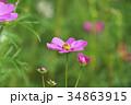 花 コスモス 秋桜の写真 34863915