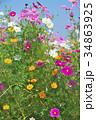 花 コスモス 秋桜の写真 34863925