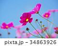 花 コスモス 秋桜の写真 34863926