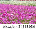 花 コスモス 秋桜の写真 34863930