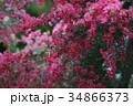 御柳梅 ギョリュウバイ 花の写真 34866373
