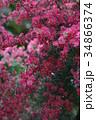 御柳梅 ギョリュウバイ 花の写真 34866374