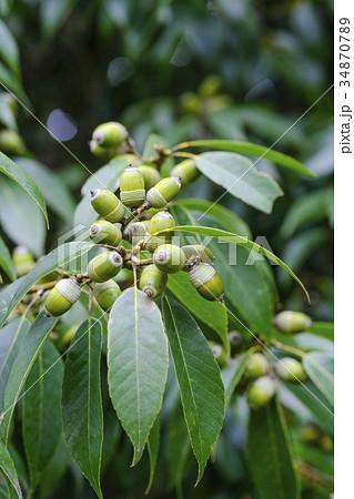 樫の木のドングリ の写真素材 [3...