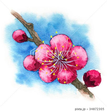 水彩で描いた紅梅 34872305
