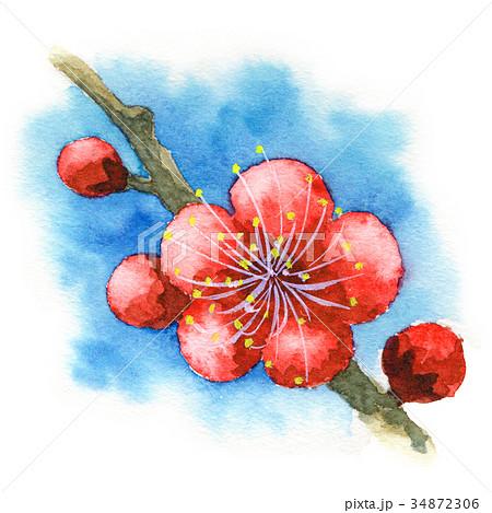 水彩で描いた紅梅 34872306
