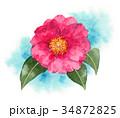 花 植物 山茶花のイラスト 34872825
