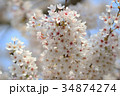 Beautiful Cherry blossom , white sakura flower 34874274