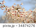 Beautiful Cherry blossom , white sakura flower 34874276