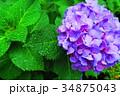 西洋アジサイ 紫陽花 植物の写真 34875043