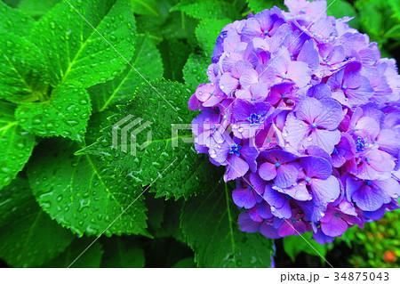文京あじさいまつりのアジサイの花(西洋アジサイ・ガクアジサイなど) 34875043