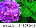 西洋アジサイ 紫陽花 植物の写真 34875044