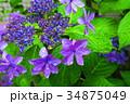西洋アジサイ 紫陽花 ガクアジサイの写真 34875049