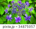 西洋アジサイ 紫陽花 ガクアジサイの写真 34875057