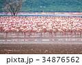 フラミンゴの群れ 34876562
