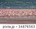 フラミンゴの群れ 34876563