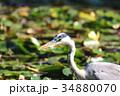 アオサギ 野鳥 サギの写真 34880070