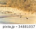 丹頂鶴 冬 雪裡川の写真 34881037