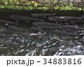 忍野八海のニジマス 34883816