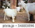 やぎ 山羊 子 34883896