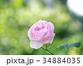 ピンクの秋バラ 34884035