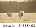 朝日を浴びて踊るタンチョウ(北海道) 34885468