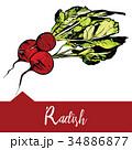 Vector illustration of a radish in hand-drawn  34886877