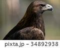 イヌワシ ニホンイヌワシ 猛禽類の写真 34892938